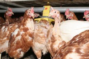 Eifelon Hühner PD 2
