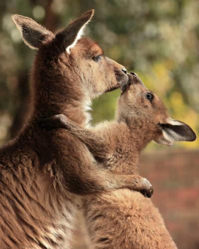Webnoncut_kangaroomoeder-kn