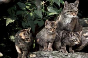 wildkatzenmutter